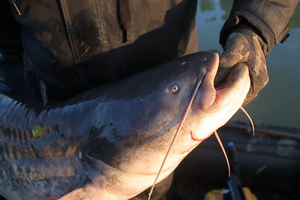 Рыбалка на сома: выбор приманки, ловим на эффективные снасти