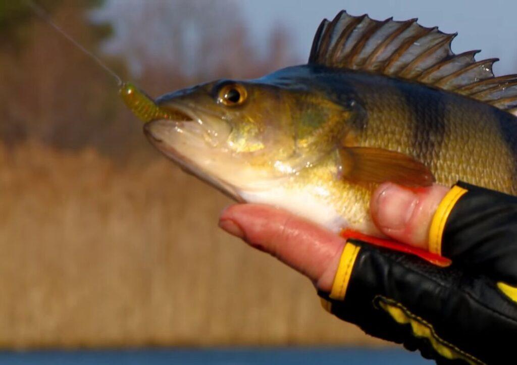 Многие рыболовы считают, что цвет приманки не влияет на клёв хищника. Рассказываю, почему они не правы