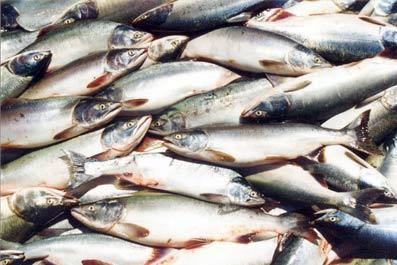 В Камских Полянах будут производить товарную рыбу и икру