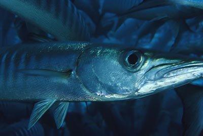 Барракуда (морская щука)