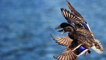 В Ульяновской области охоту на водоплавающих не откроют