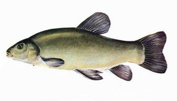 Рыба линь места обитания