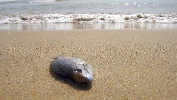 Волны выбросили на таллинский пляж сотни мертвых рыб