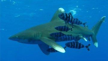 В Египте специально приманивают акул к берегу, считает эксперт
