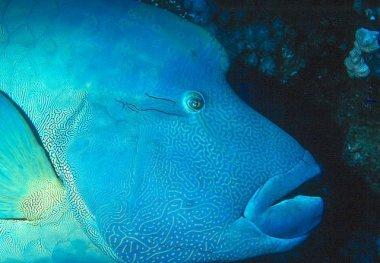 Необычная рыба - Наполеон
