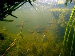 В Украине, Рыбнадзор и браконьеры бросились спасать пьяную рыбу