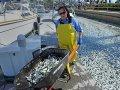 На побережье Калифорнии вынесло миллион мертвых сардин