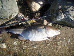 Начавшееся цветение воды у датского побережья вызывает массовую гибель рыбы