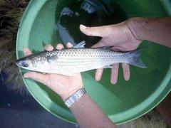 Азовская рыба холодов не испугалась. К побережью Мариуполя массово подошли бычок и тарань