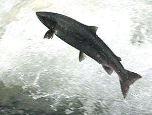 На Сахалине промысел лосося будут вести в нерестовых реках