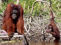 Орангутаны умеют рыбачить
