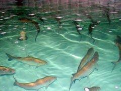 В рыбное хозяйство Ставрополья планируется инвестировать более 300 млн рублей