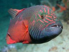 Филлипинские ученые готовят защиту для рыбы