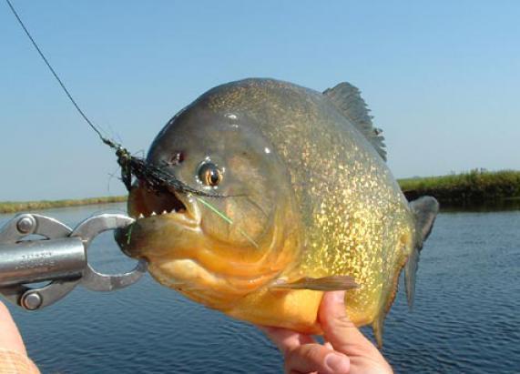 В районе саратовского коллектора рыбаки выловили огромную пиранью
