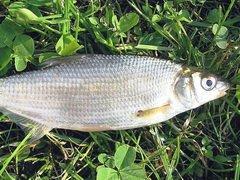 Участники 'Осеннего рыбца 2011' поймали 15 килограммов рыбы